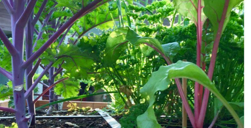 Snijbiet en kool met prachtige stelen in Berries tuin